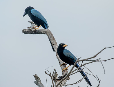 Belize Birding trip - 2015