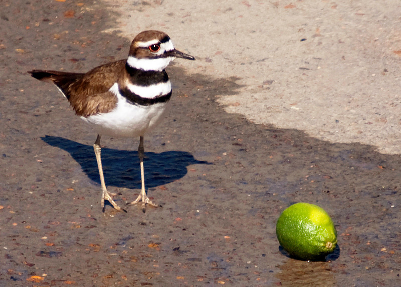 Killdeer finds a lime in Brays Bayou