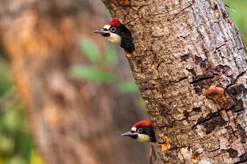 2020 Woodpecker family