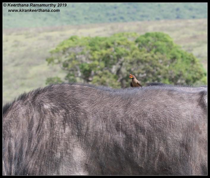 Red-billed Oxpecker on African cape buffalo, Ngorongoro Crater, Ngorongoro Conservation Area, Tanzania, November 2019