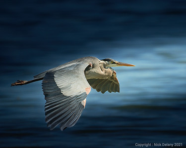 Great Blue Heron into the light!
