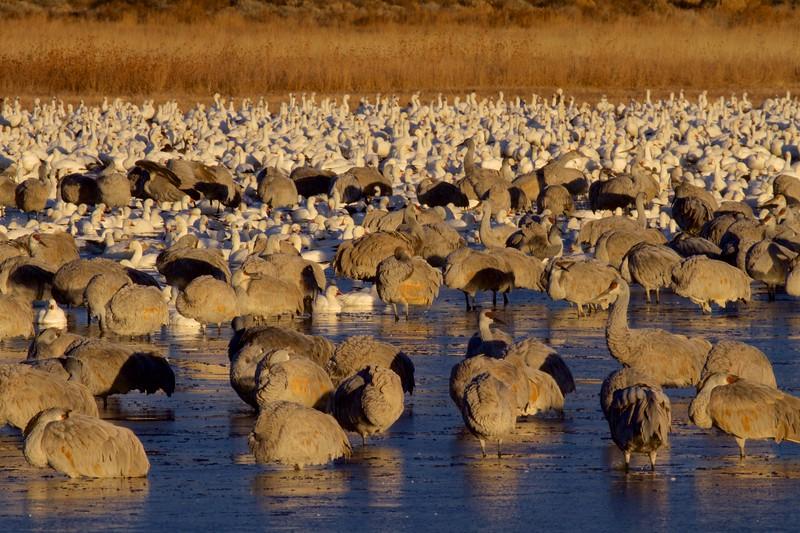 Sandhill Crane and Snow Goose flock Bosque del Apache NWR Socorro NM IMG_9348.dng.jpg