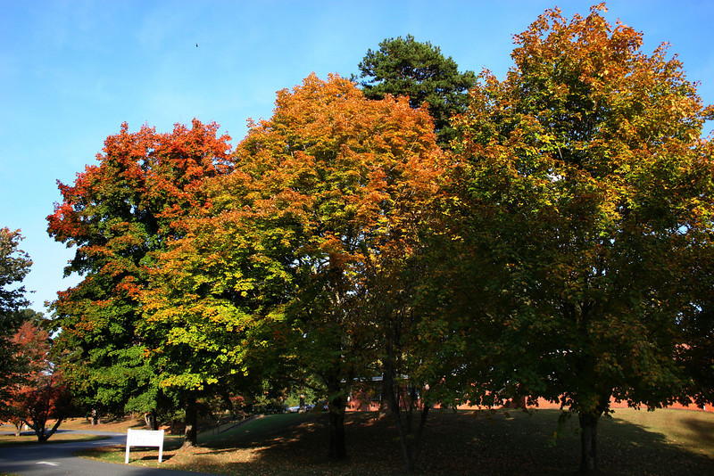 The changing colors of the trees on Memorial Drive on the campus of Gardner-Webb University.