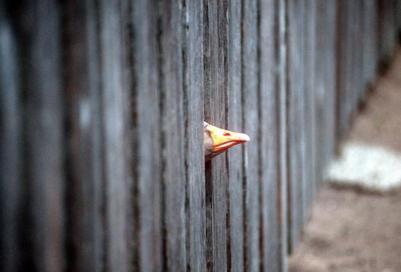 1990-05 Goose In Fence.jpg