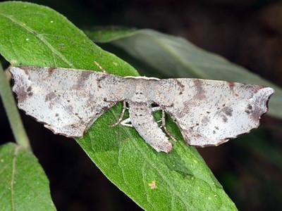 subfamily Oenochrominae