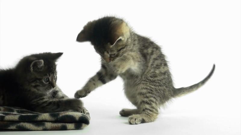kitten_tabby_2_02.mov