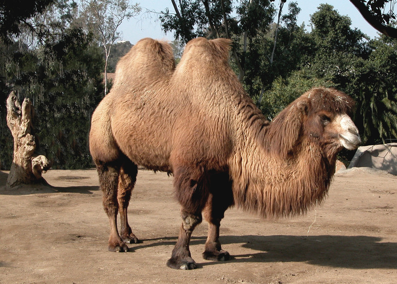 BACTRIAN CAMEL - MONGOLIA