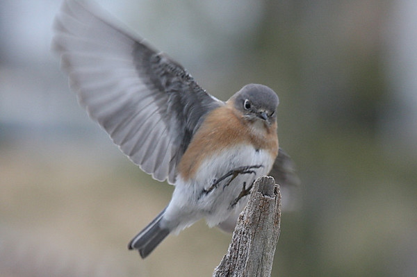 Eastern Bluebird females, Gallery 2