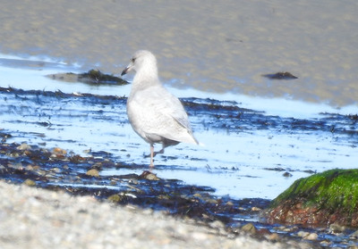 temp-white gull