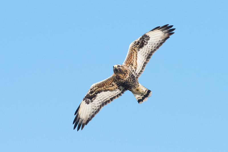 Rough legged buzzard , Fjällvråk