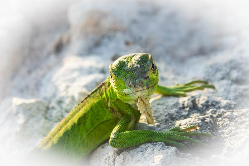 Baby Iguana Look.jpg