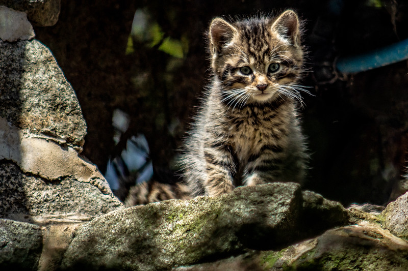 Edinburgh Zoo: Scottish Wildcat Kitten