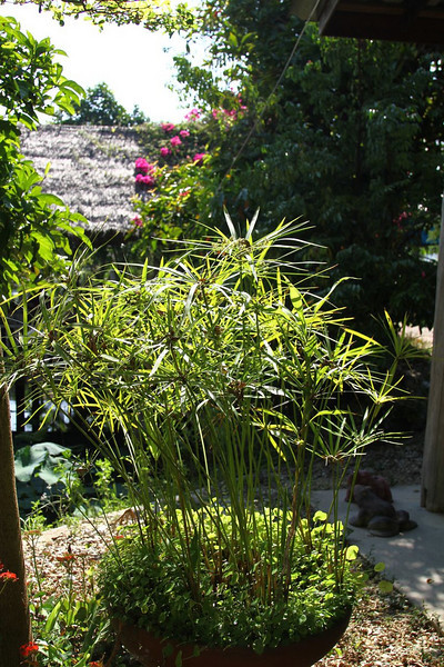 Wonderful water garden and pond.  This papyrus was lovely