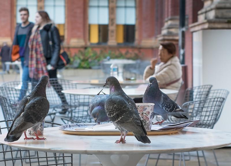 Rapacious pigeons