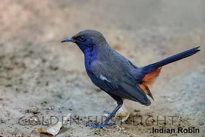 Indian Robin, Ranthambhore, India