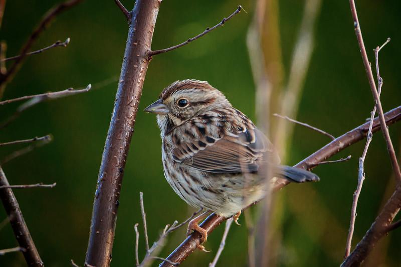 10.24.18 - Blackburn Creek Fish Nursery: Song Sparrow