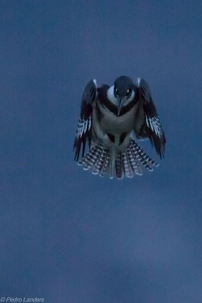 Kingfisher before Sunrise