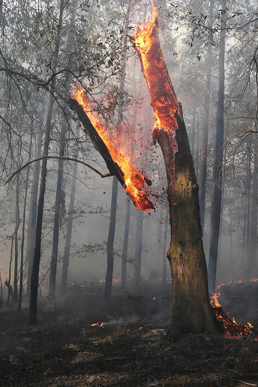 . A burning tree falls during a mop-up by firefighters after a firestorm swept through a property in Bilpin, 75 kilometers (47 miles) from Sydney, Wednesday, Oct. 23, 2013.  (AP Photo/Rob Griffith)