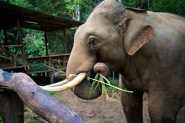 Elephant Arcadia Thailand