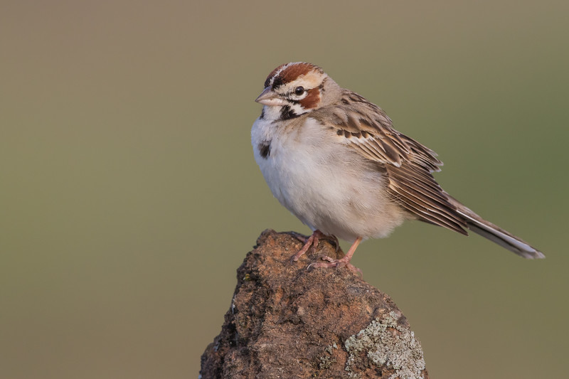 Lark Sparrow - San Jose, CA, USA