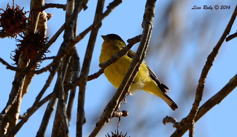 Lesser Goldfinch - 1/3/2015 - RB CBC, Bernardo Winery