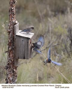 Western Bluebirds J91467.jpg