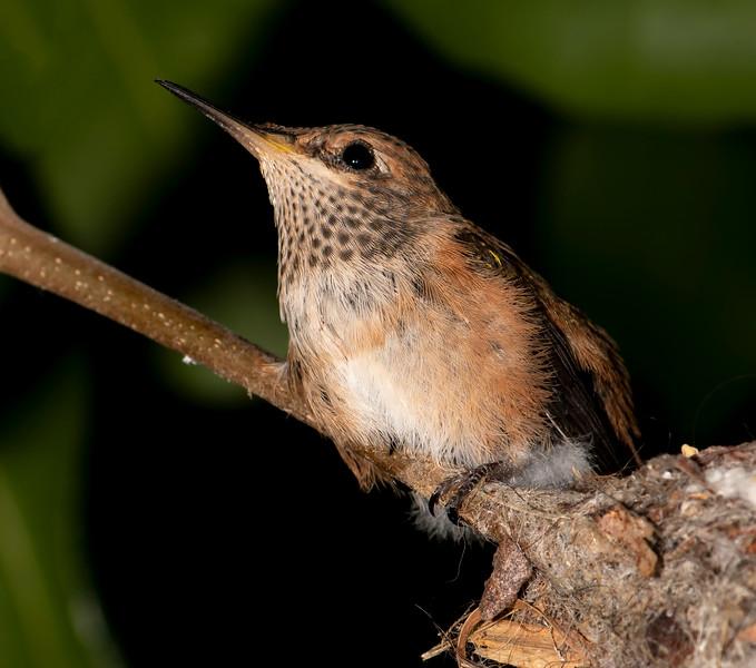 Hummingbirds-41.jpg