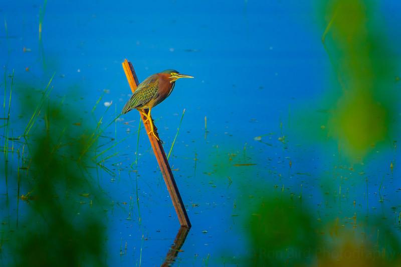 6.6.21 - Green Heron in the sun.