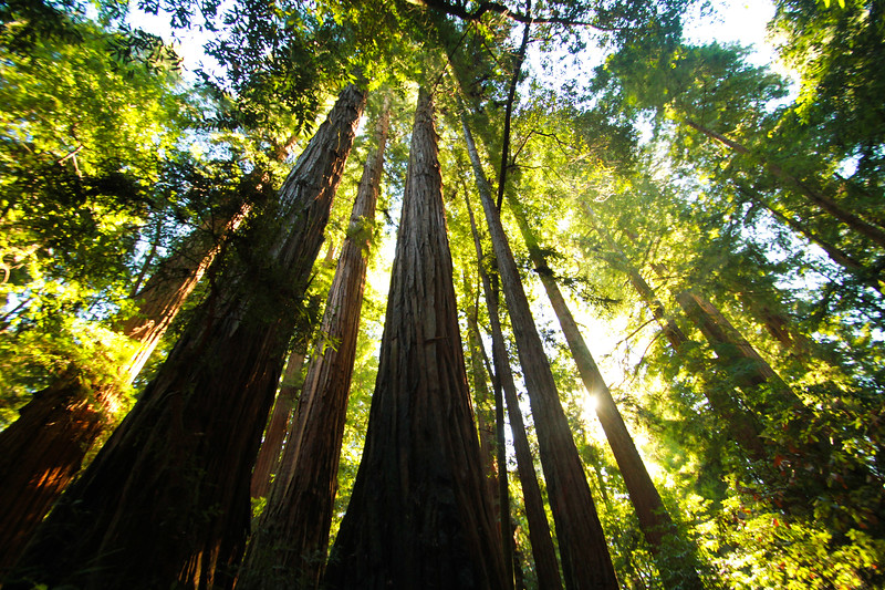 Red Woods, Santa Cruz, California, USA