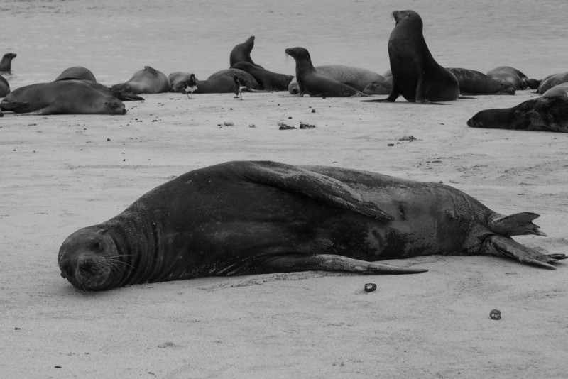 sea lion bw.jpg