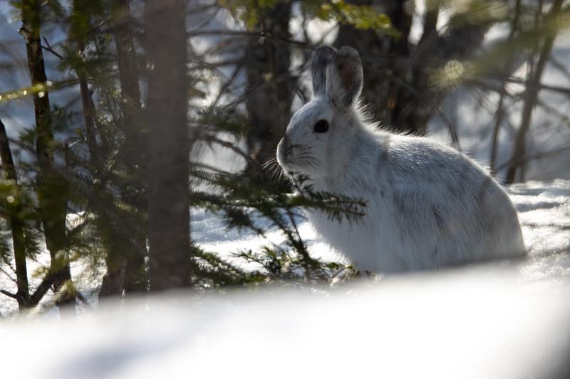Snowshoe hare-2883.jpg
