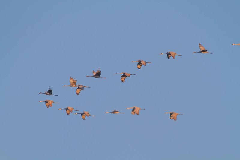 Sandhill Cranes flight flying fly in roost Crex Meadows Grantsburg WI IMG_1806.jpg