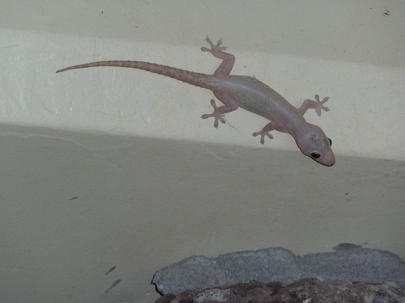 Common House Gecko on the wall of our lanai.