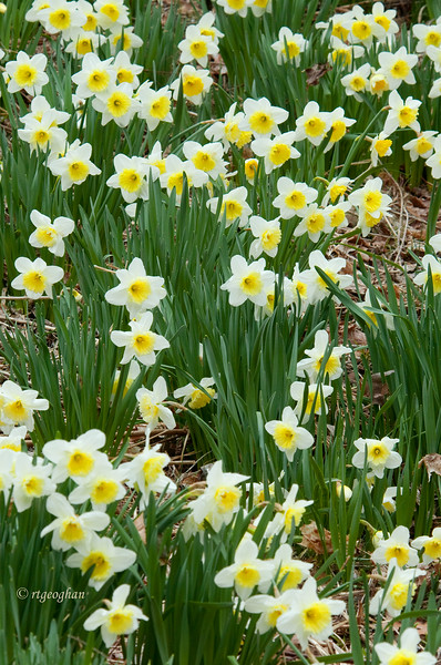 April 8_Daffodil Garden_1224.jpg