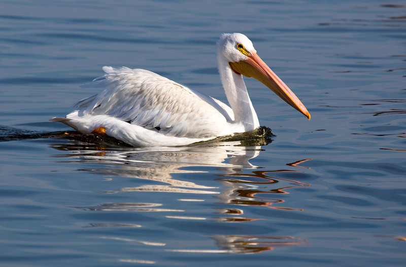 Another stately White Pelican swimming