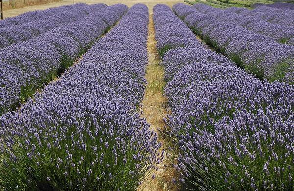 Lavender Fields,  Sequim, Washington
