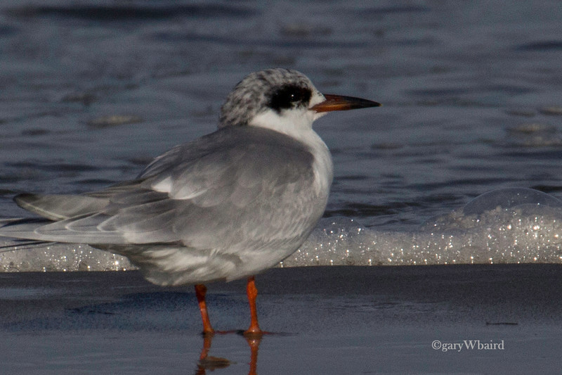 Forster's Tern and Foam