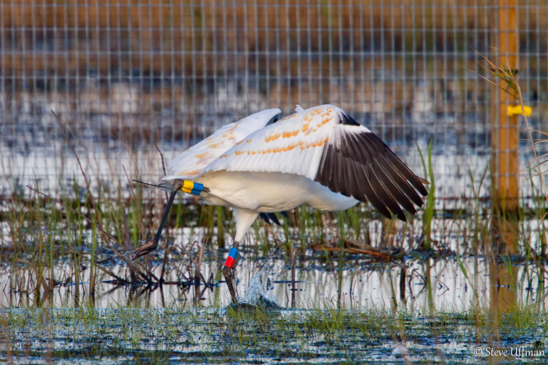 20120207-_MG_2677Whooping_Cranes_White_Lake-Edit.jpg
