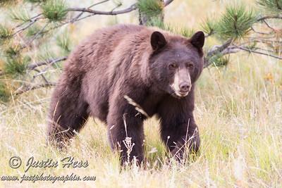 Black Bear 09-13-2017