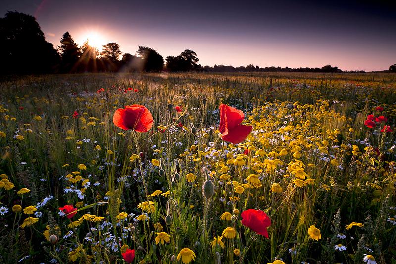 Warwickshire wild flower meadow