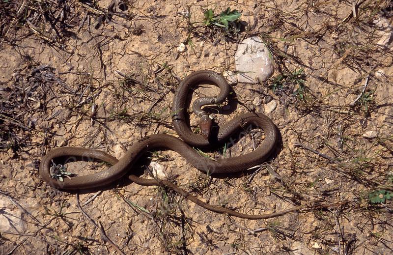 זעמן זיתני- Dahl's whip snake -Platyceps callaris
