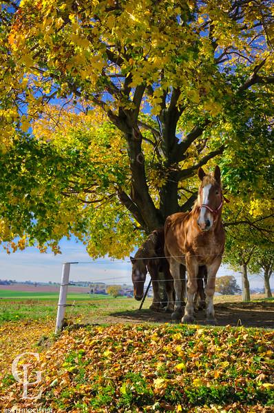 1098 - Autumn 2016 - Horses Under Yellow Trees