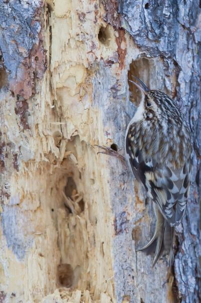 Brown Creeper - Sax-Zim Bog, MN, USA