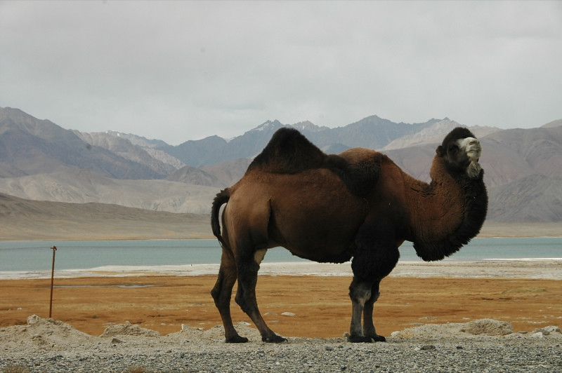 Bactrian Camel - Pamir Mountain, Tajikistan