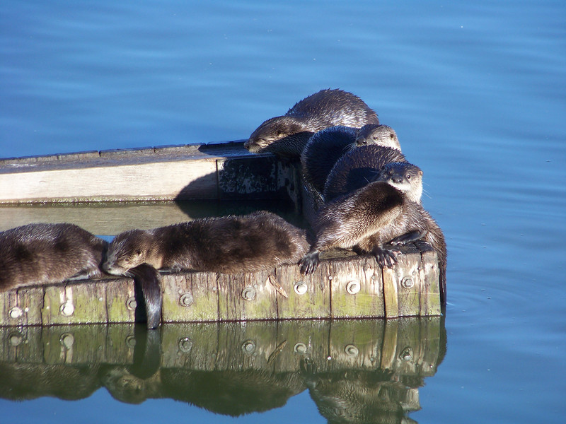River Otter Family outing (Las Gallinas)