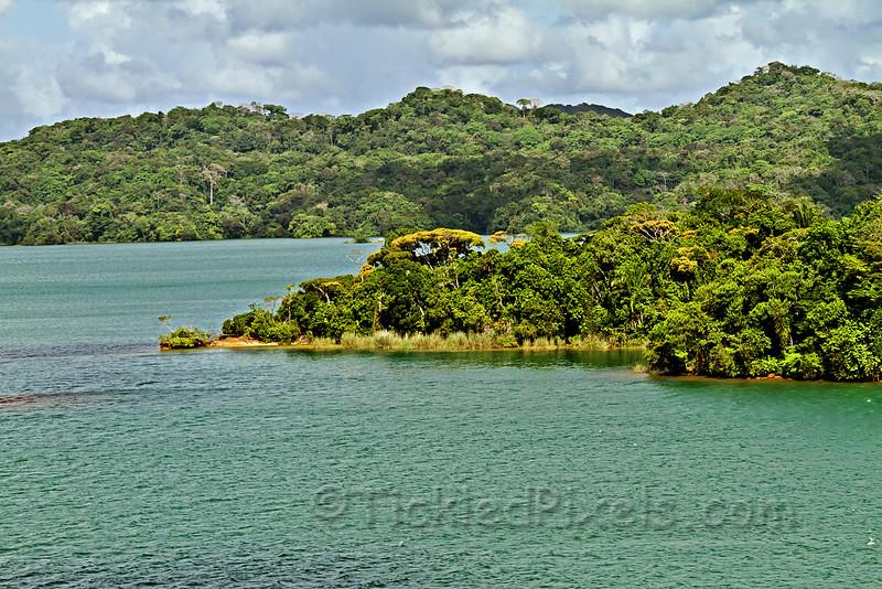 Guayacan Trees