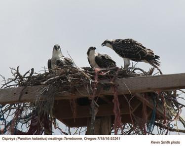 Ospreys N93261.jpg