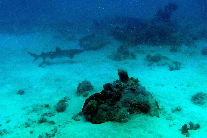 Reef Shark!!!