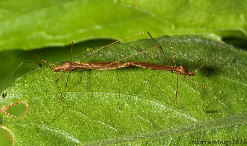 Mating Stilt Bugs, family Berytidae, from Iowa.