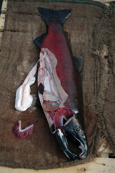 Dissected Male Salmon at Wallace Falls Hatchery outside Seattle Washington USA